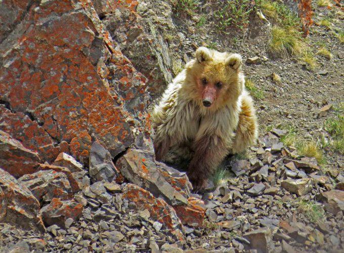 З_104_Сайлюгемский медведь